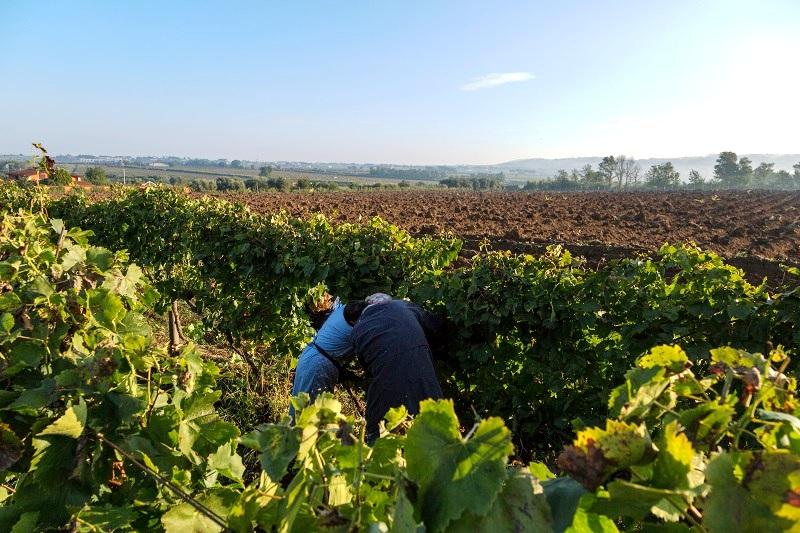 Raccolta dell'uva nell Agro Romano