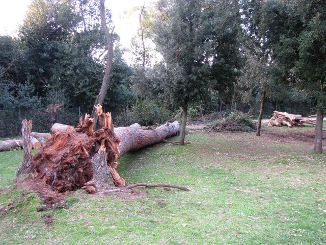 Un secondo albero, a pochi metri da quello schiantatosi sull'area giochi, caduto a Villa Ada domenica 8 febbraio