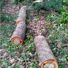 Abbattono le querce secolari di Capocotta #salviamodecima