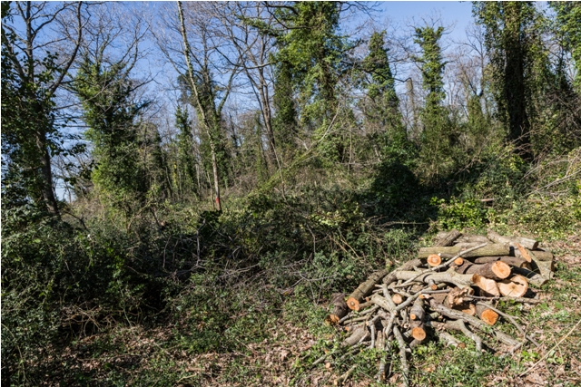 Proseguono gli abbattimenti di alberi secolari nella foresta di Capocotta, Riserva naturale di Decima Malafede (foto Luca Veducci)