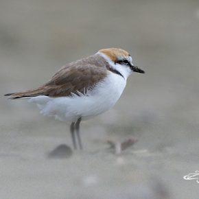 """Le associazioni lanciano l'appello: """"Sulle spiagge interdette per il Covid  l'avifauna ha nidificato ovunque. Proteggiamola"""""""
